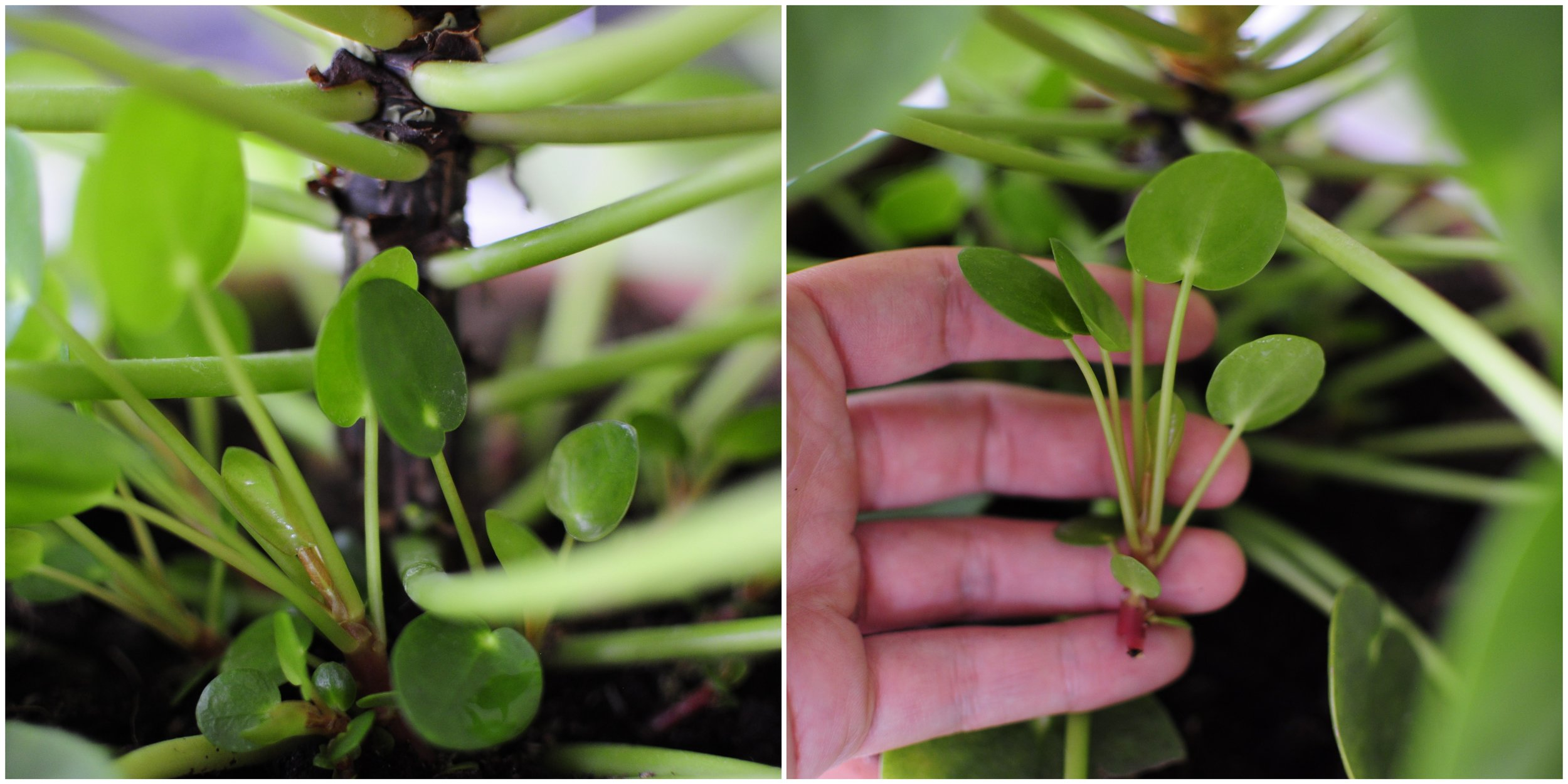 Pilea cuttings from the stem.