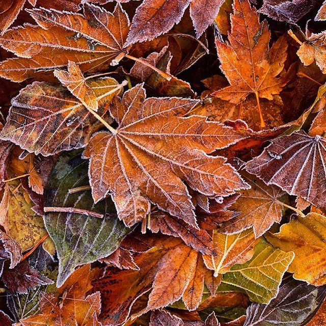 Autumn is here! Photograph by Richard Stefani, 🎞 4x5, taken in Salem, Oregon, near Bush Park. . . . —————————- #fallcolors #willamettevalley #oregonart #firstfrost #salemor #pressplaysalem #artinspiration #artcollector #artforhome #bushpasturepark #insalemoregon #artgallery #willamettevalley