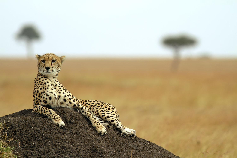 Web-African-cheetah-sm.jpg