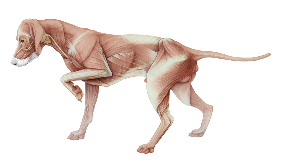 Ankat_Hermanns_Anatomy_of_the_dog_Muscles.jpg