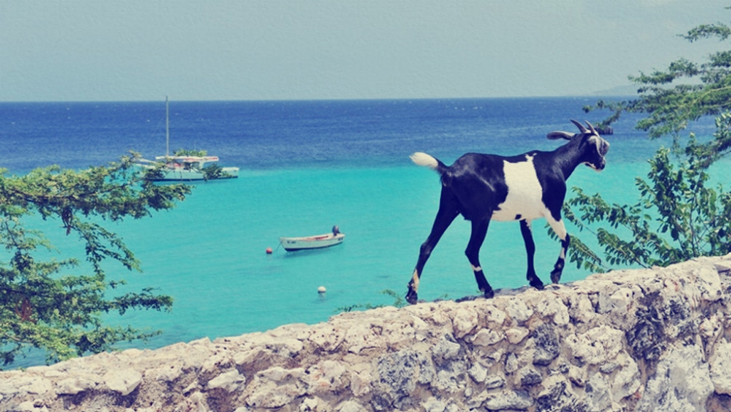 Goat walking on a rock wall above a Caribbean beach