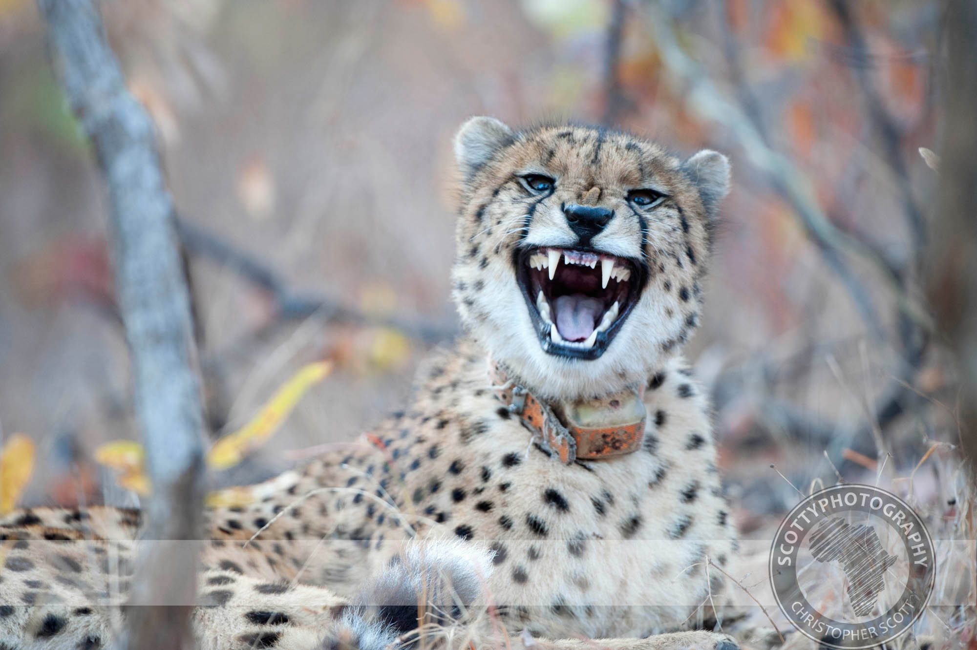 Cheetah0012.jpg