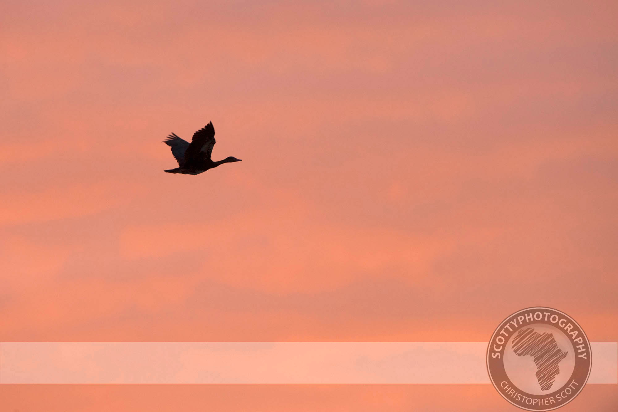 Goose, Egyptian-90.jpg