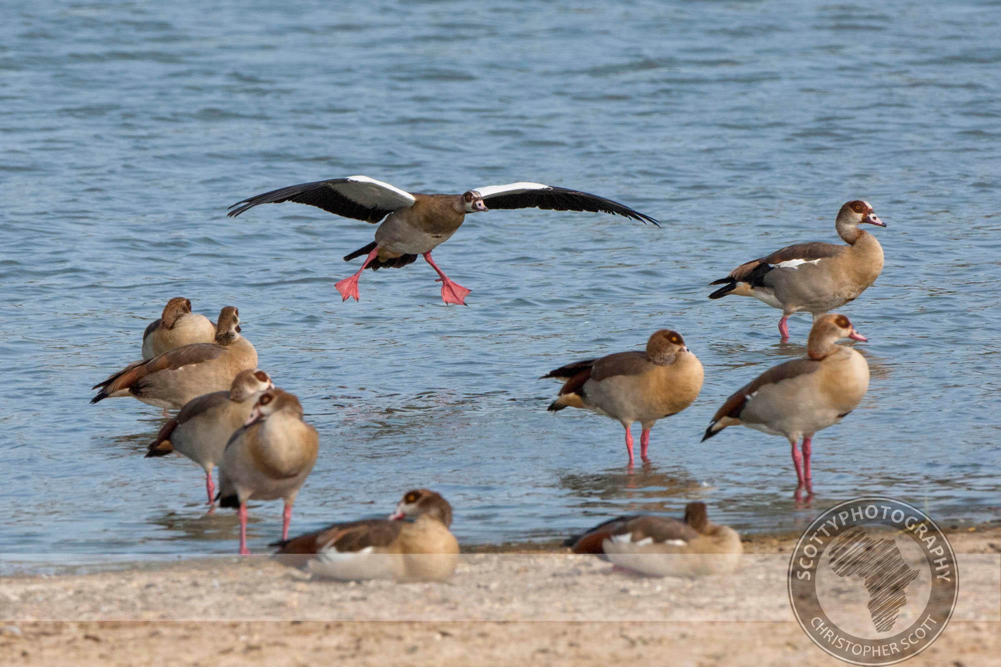 Goose, Egyptian-155.jpg