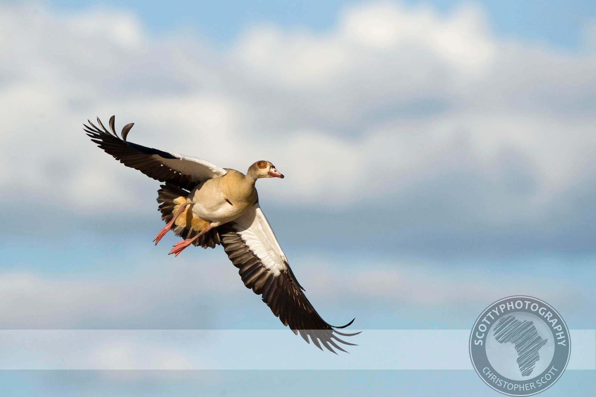 Goose, Egyptian0019.jpg
