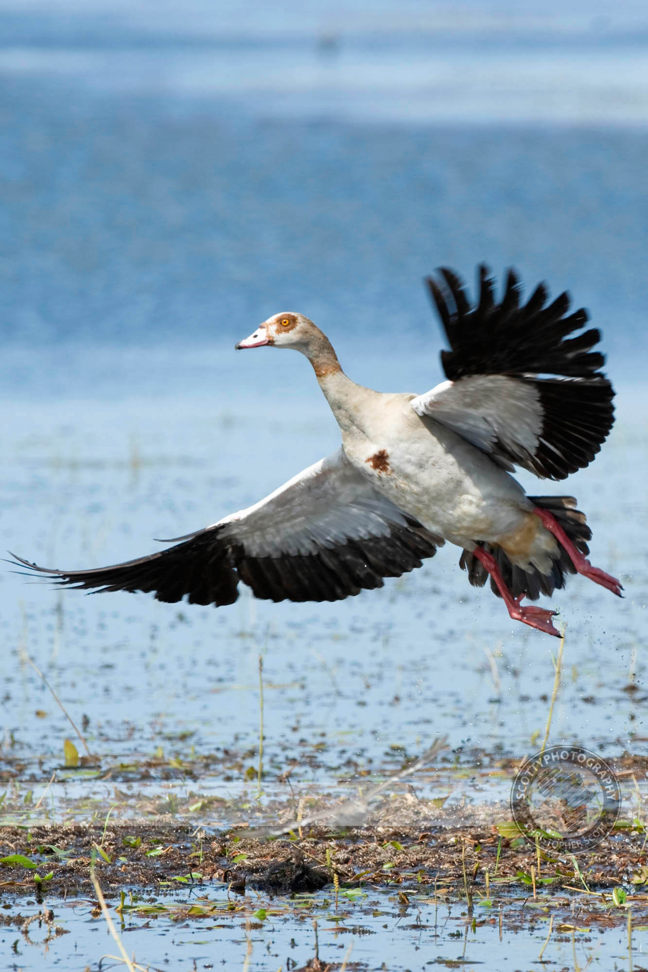 Goose, Egyptian0012.jpg