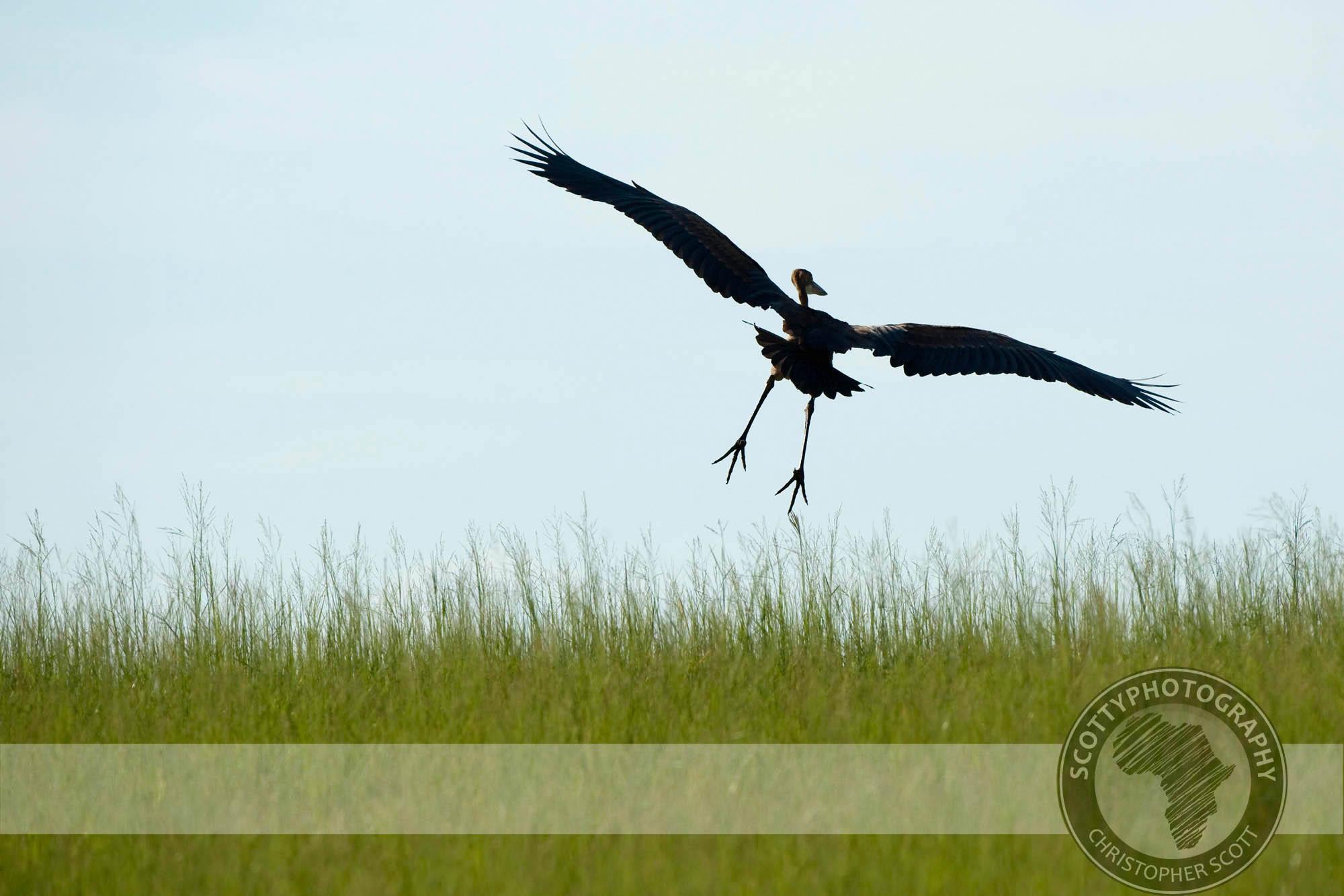 Heron, Goliath0040.jpg