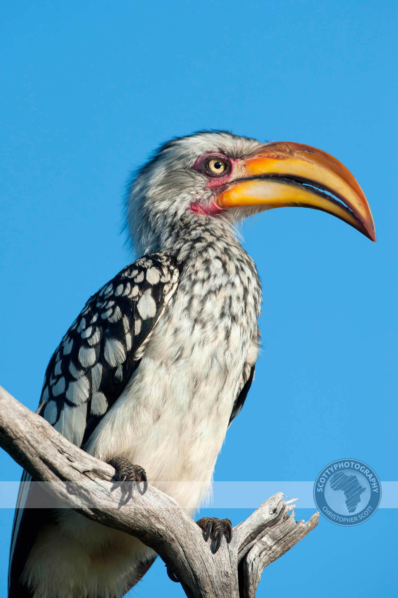 Hornbill, Yellow Billed0094.jpg