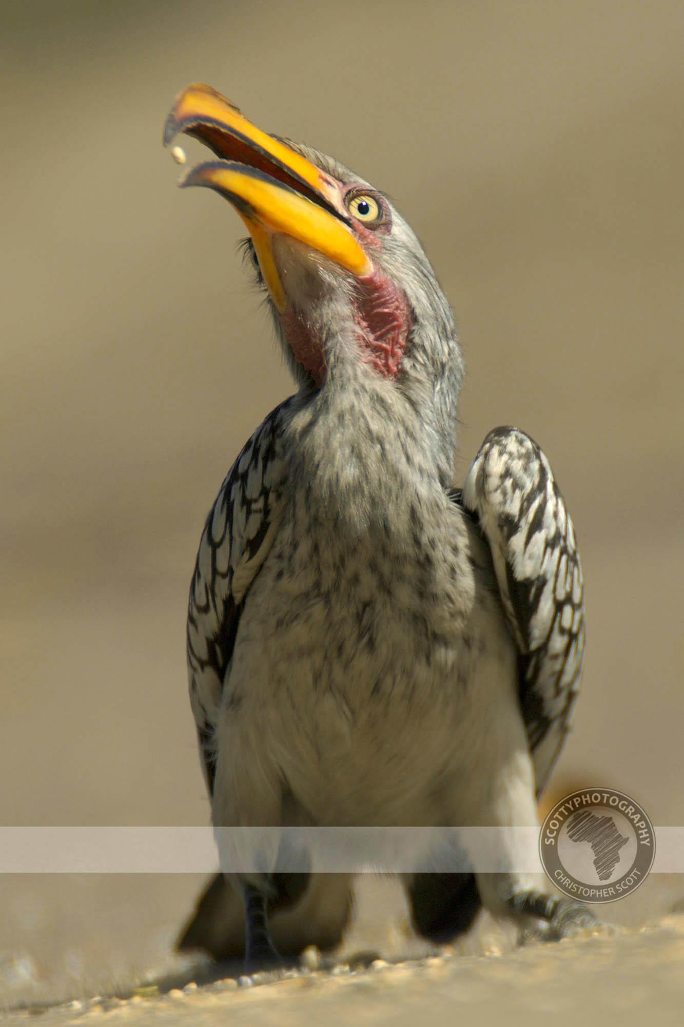 Hornbill, Yellow Billed0029.jpg