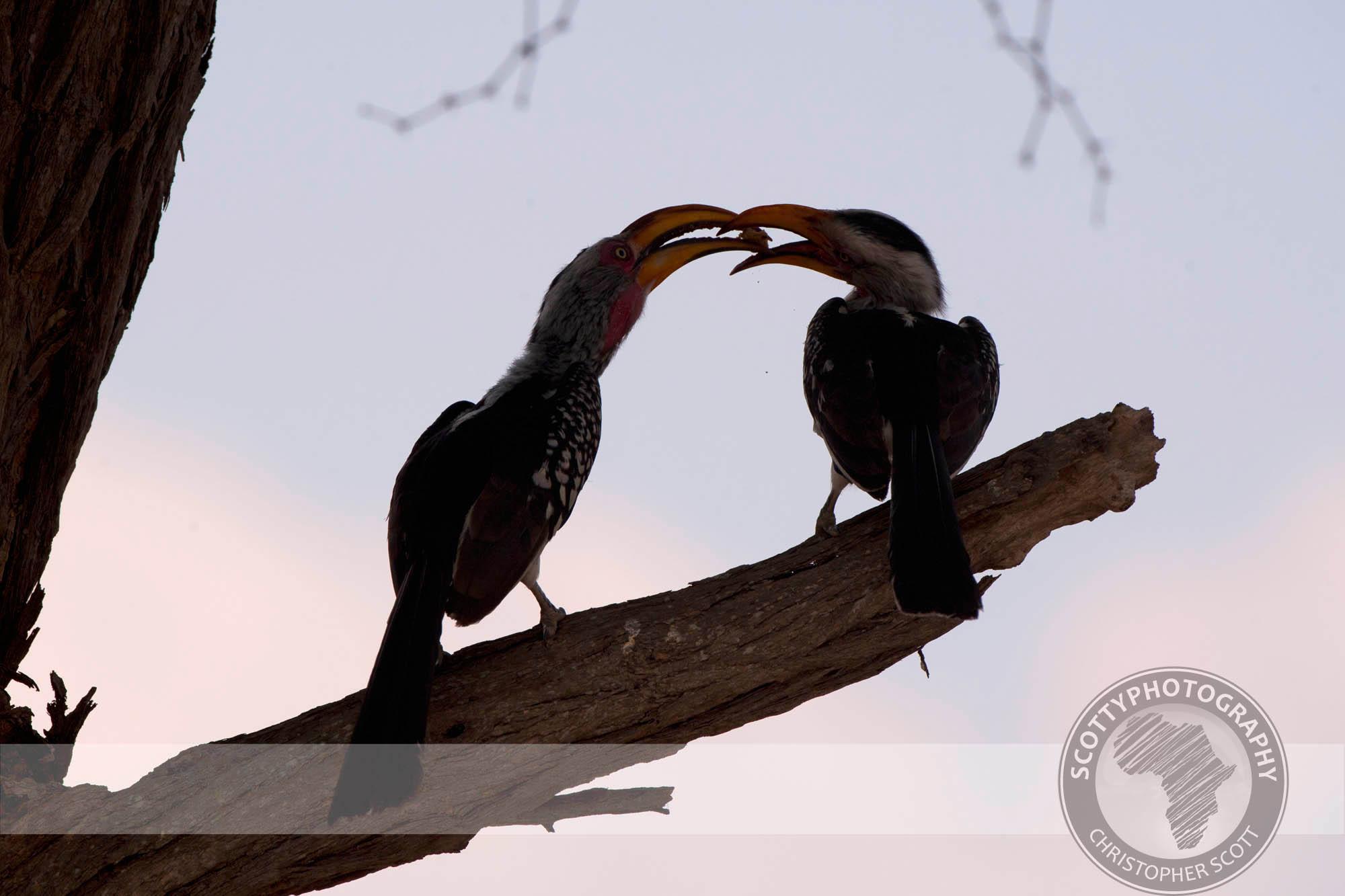 Hornbill, Yellow Billed0151.jpg