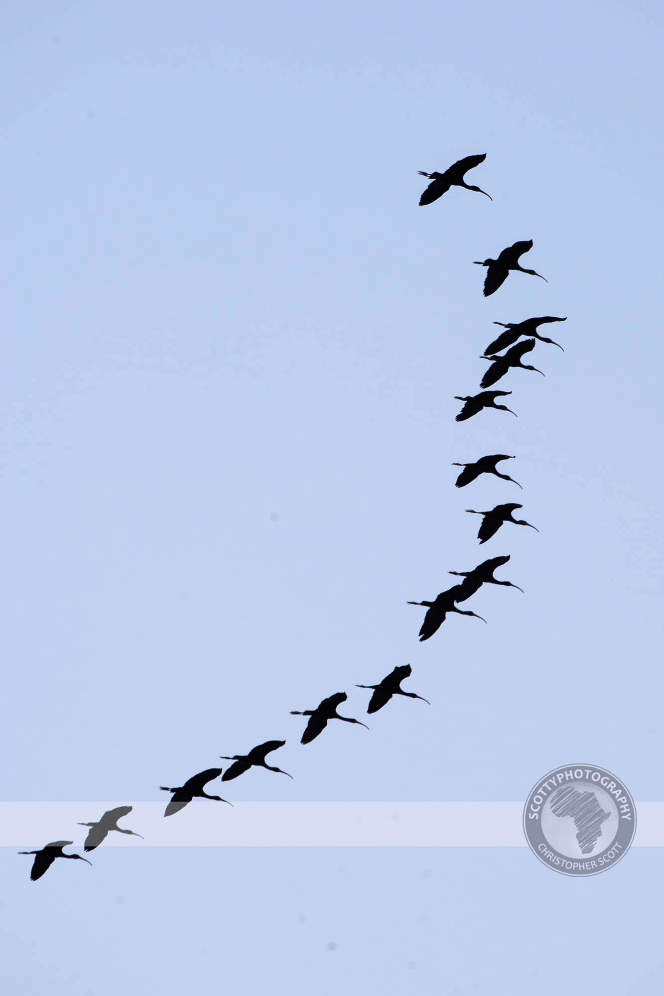 Ibis, Glossy-40.jpg