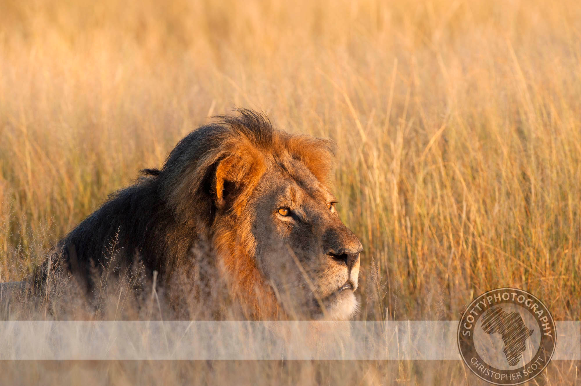 Lion-1557.jpg