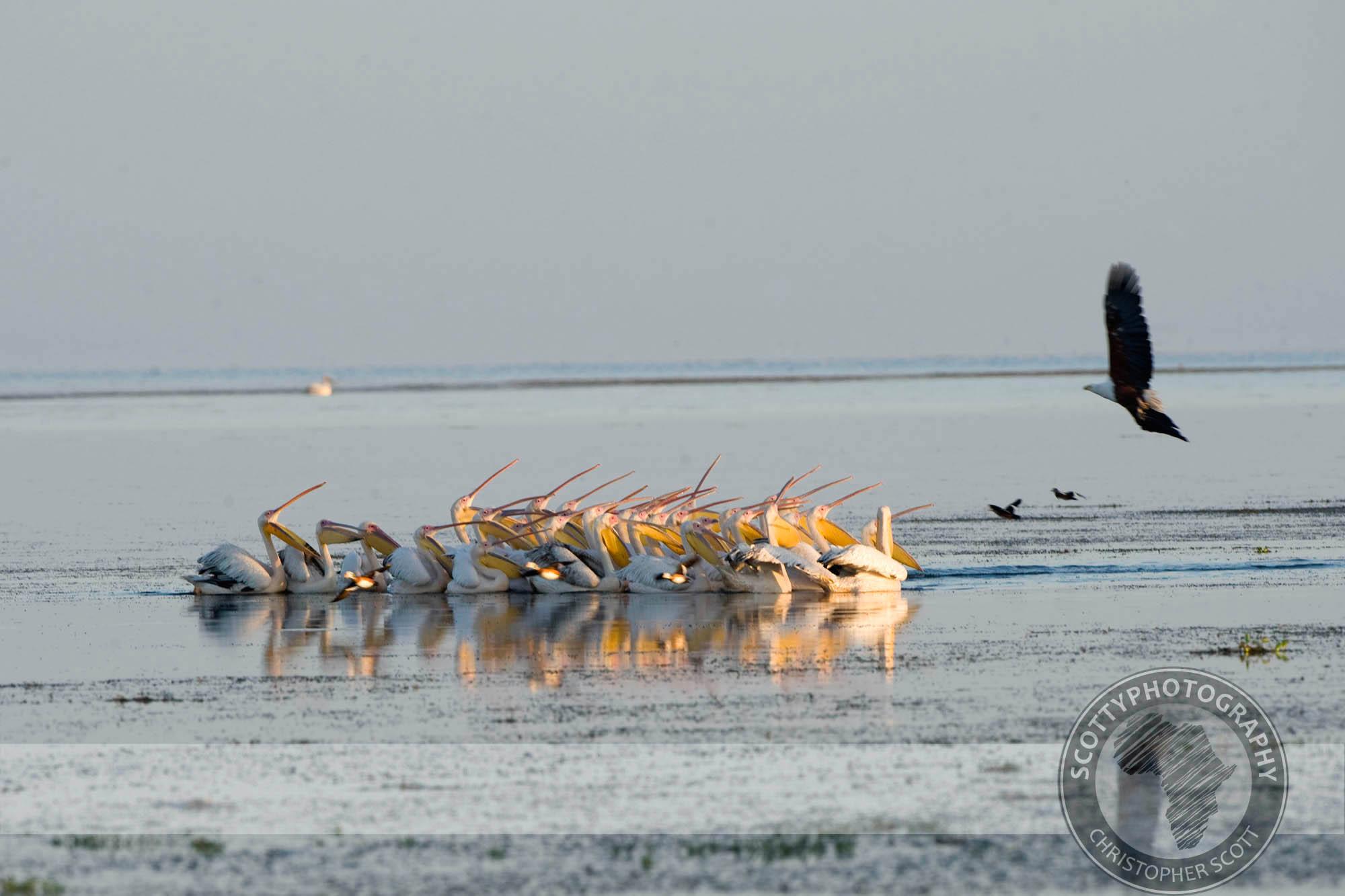 Pelican, Great White0072.jpg