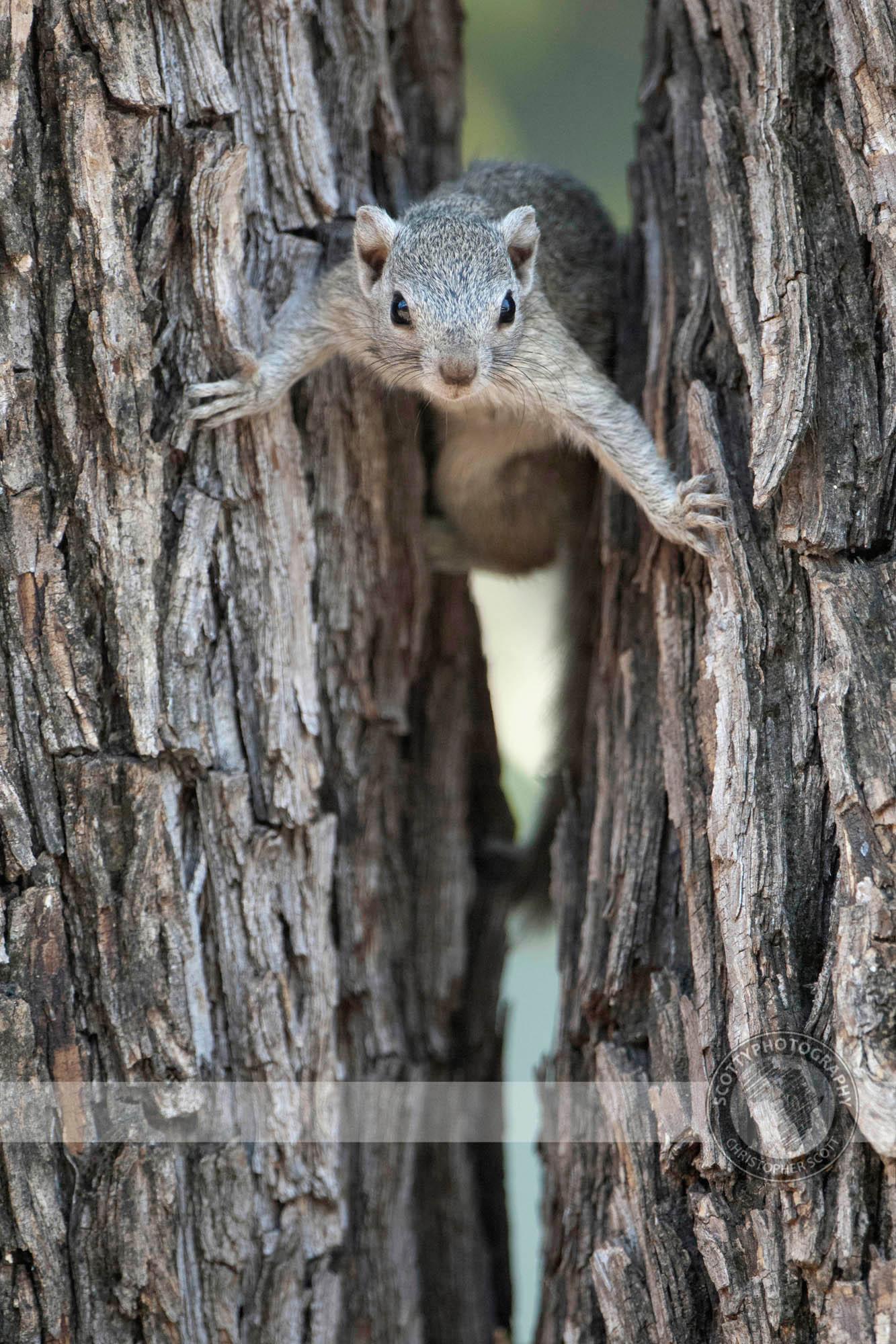 Squirrel, Tree0079.jpg
