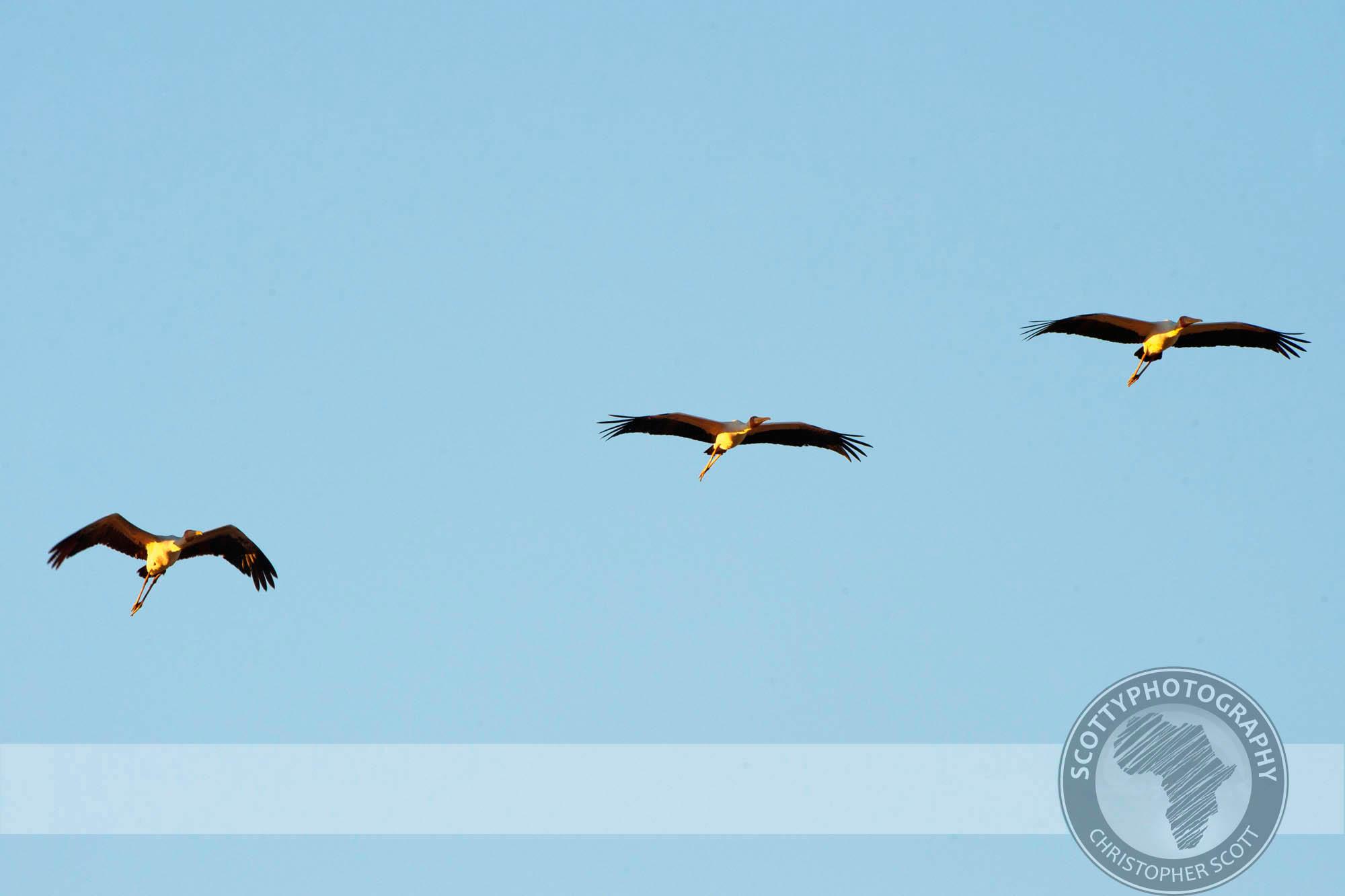 Stork, Yellow Billed0094.jpg