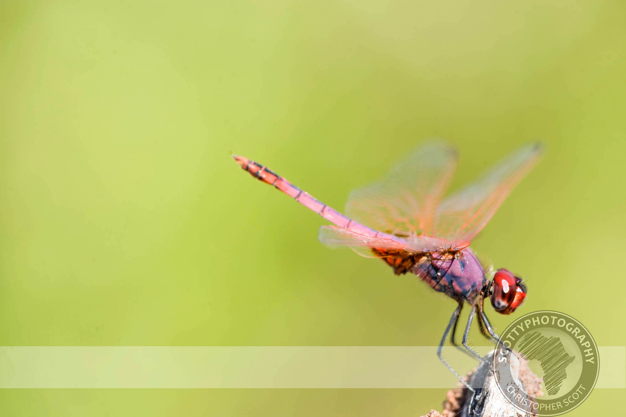 TRITHEMIS ANNULATA - Violet Dropwing0025.jpg