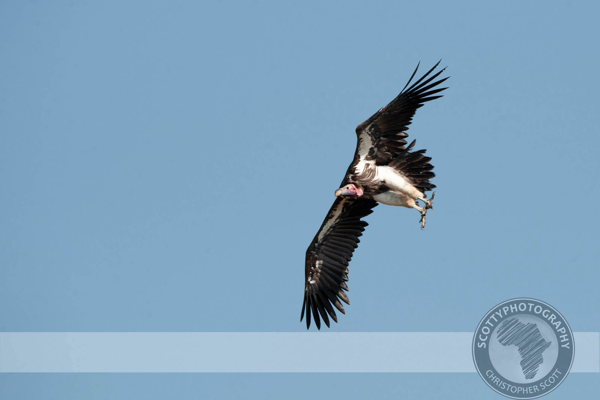 Vulture, Lappet Faced0002.jpg