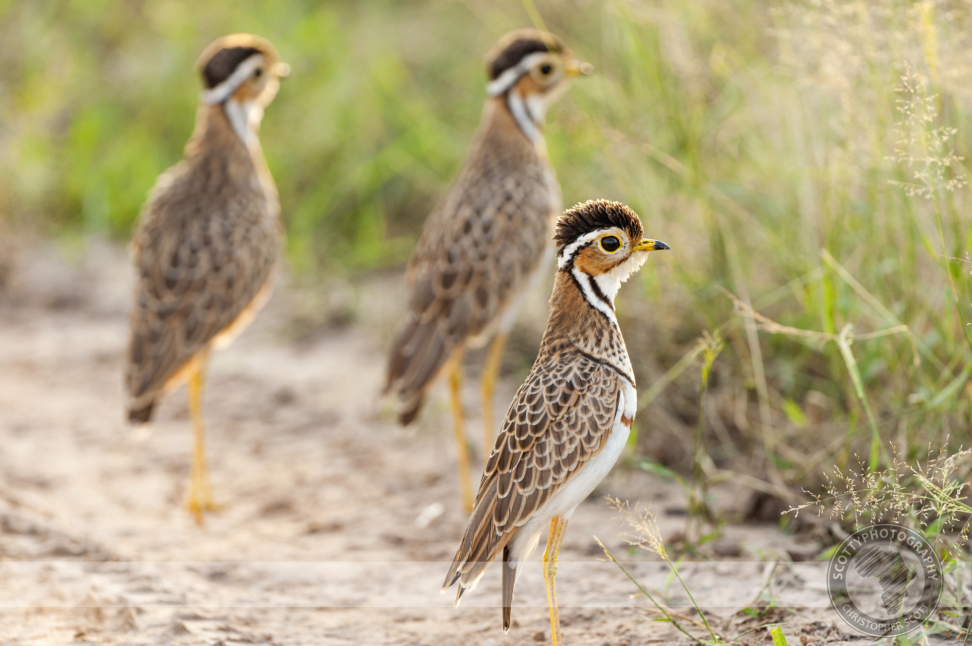 Courser, Thre Banded-49 copy.jpg