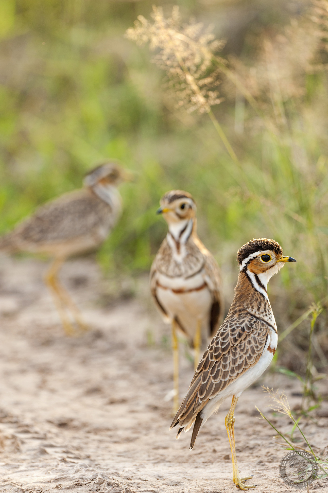 Courser, Thre Banded-55 copy.jpg