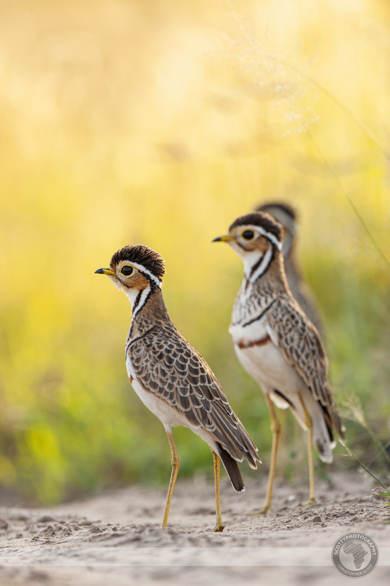 Courser, Thre Banded-60 copy.jpg