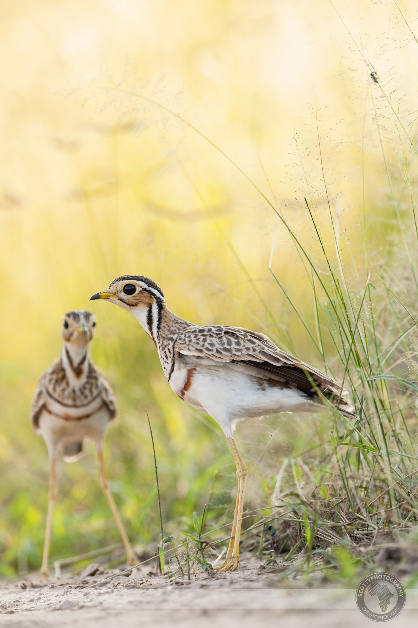 Courser, Thre Banded-70 copy.jpg