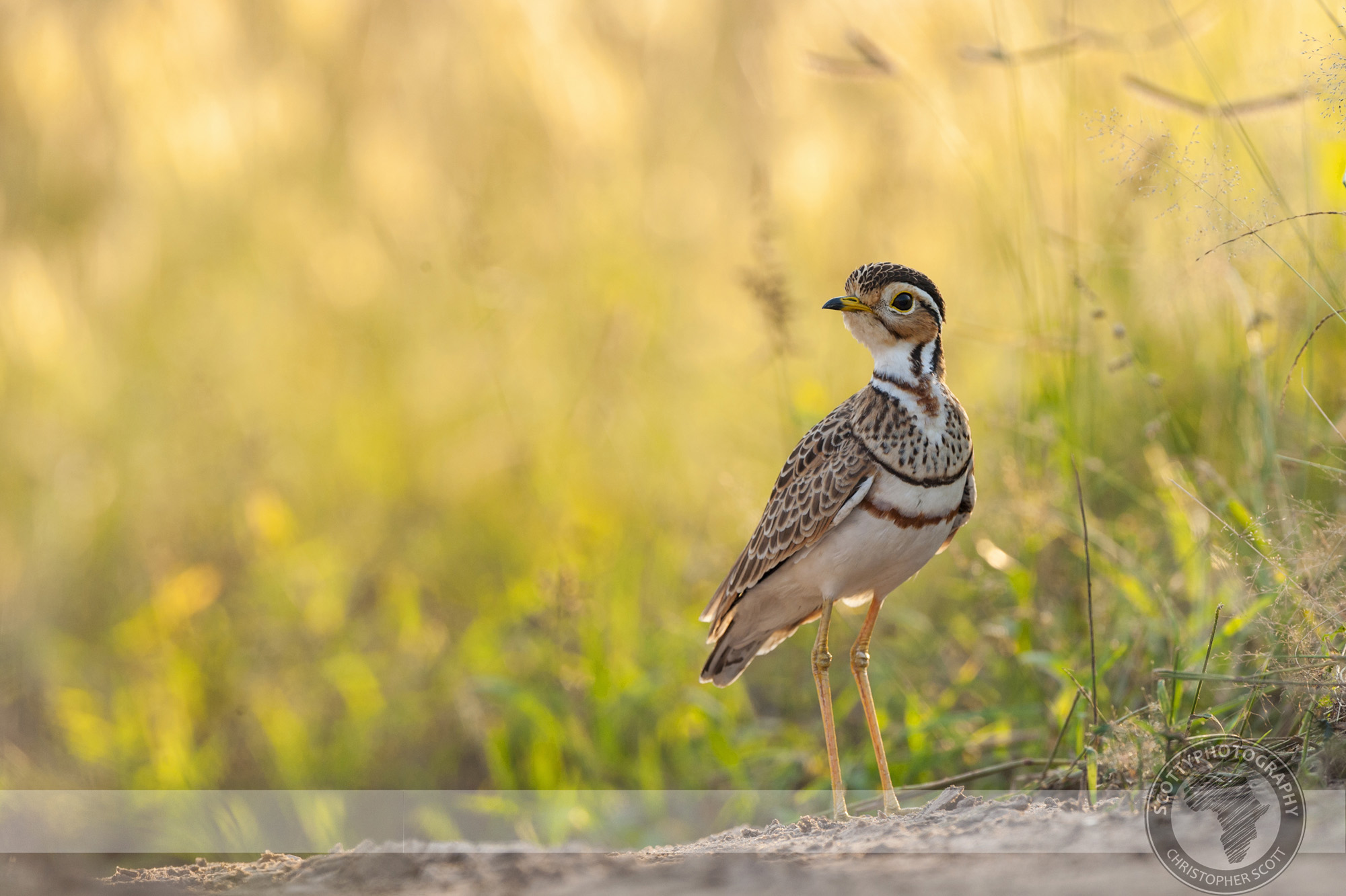 Courser, Thre Banded-97 copy.jpg