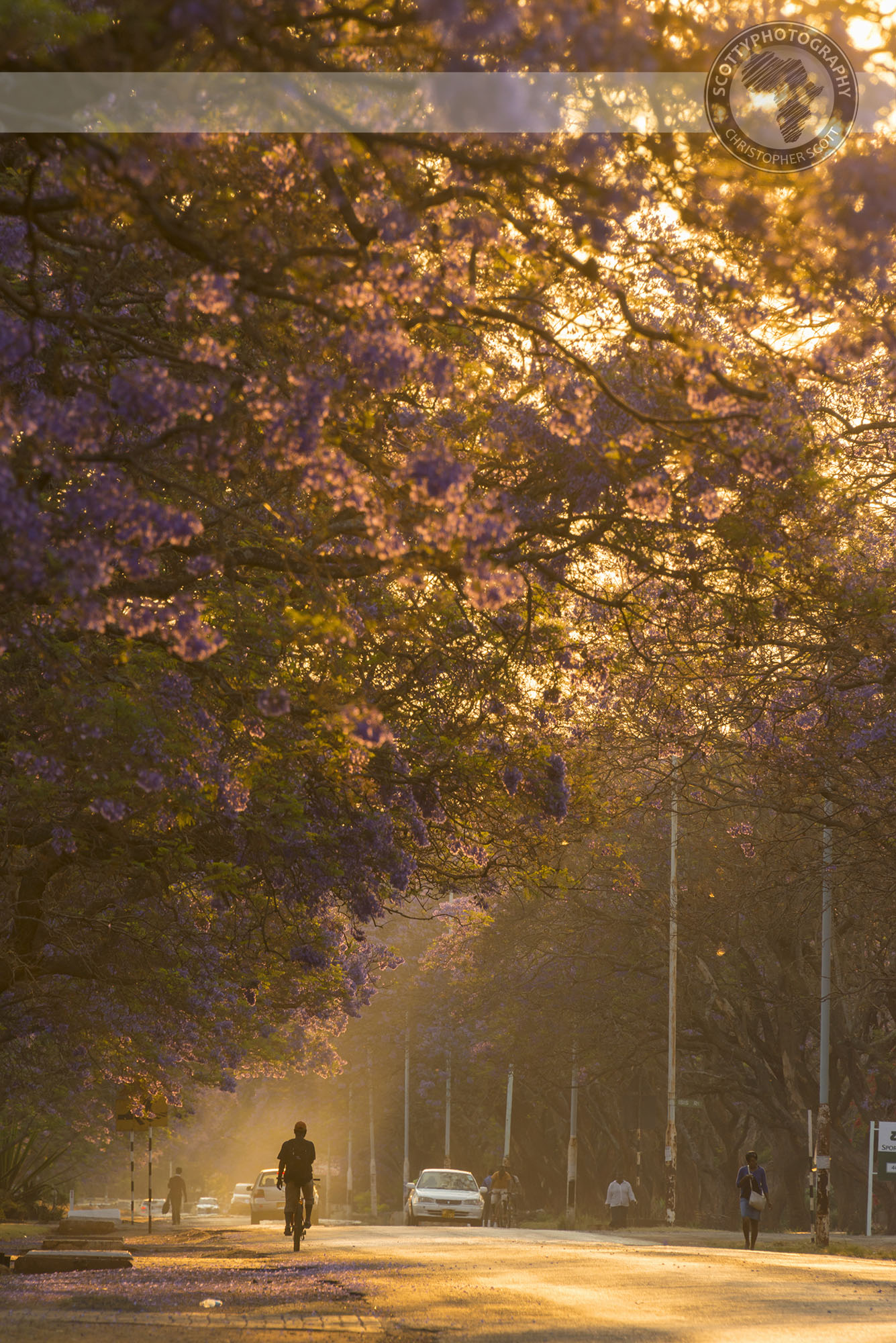 Golden hour light will add that extra vibrancy to your jacaranda pictures.