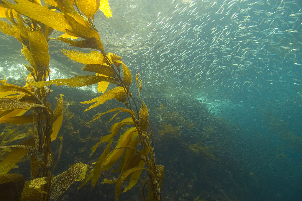 kelp.jpeg