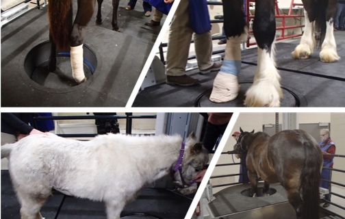 The system is able to handle patients ranging from a miniature to a draft horse.