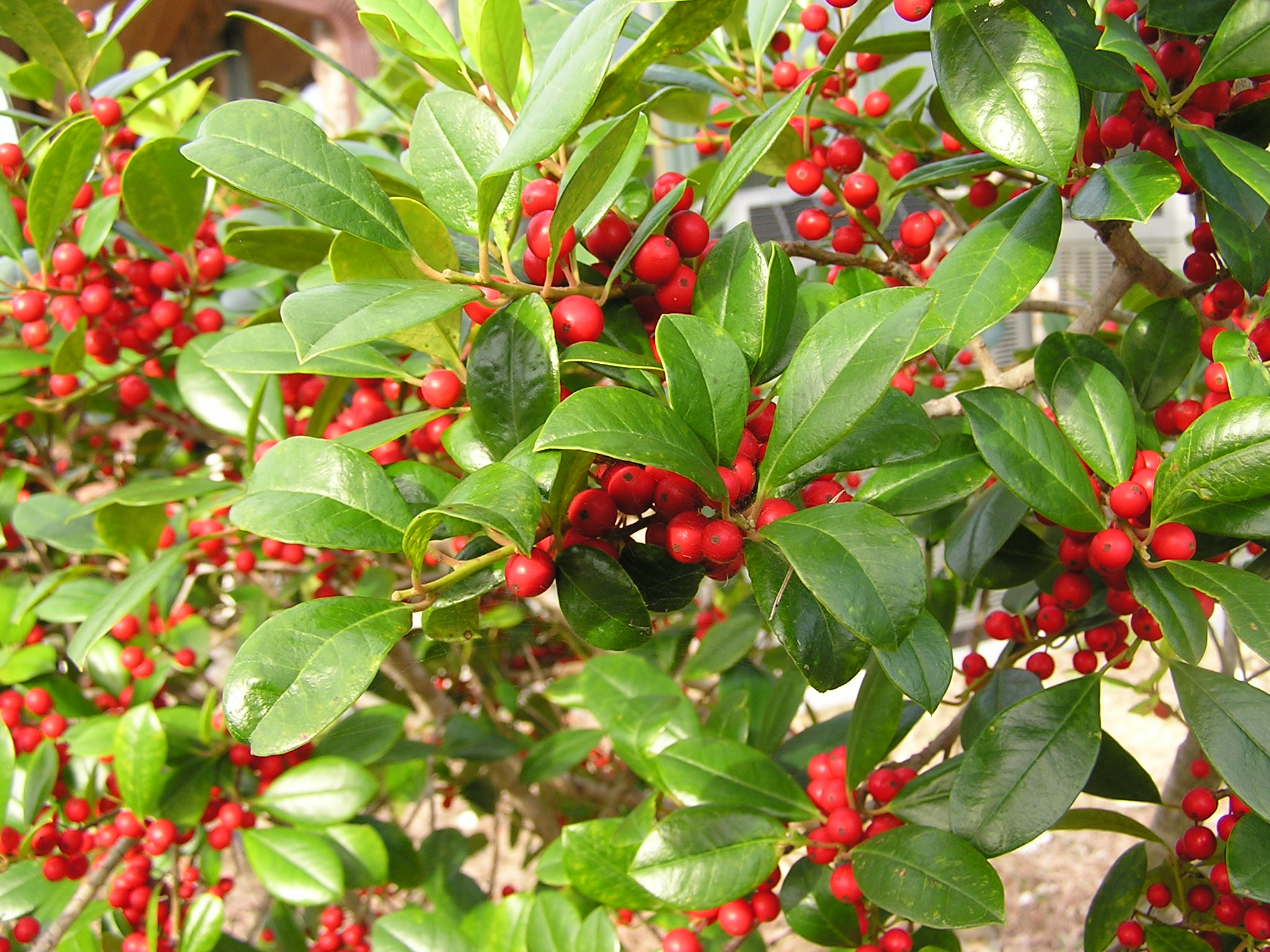 11726163-holly-plant-with-red-berries-Stock-Photo.jpg