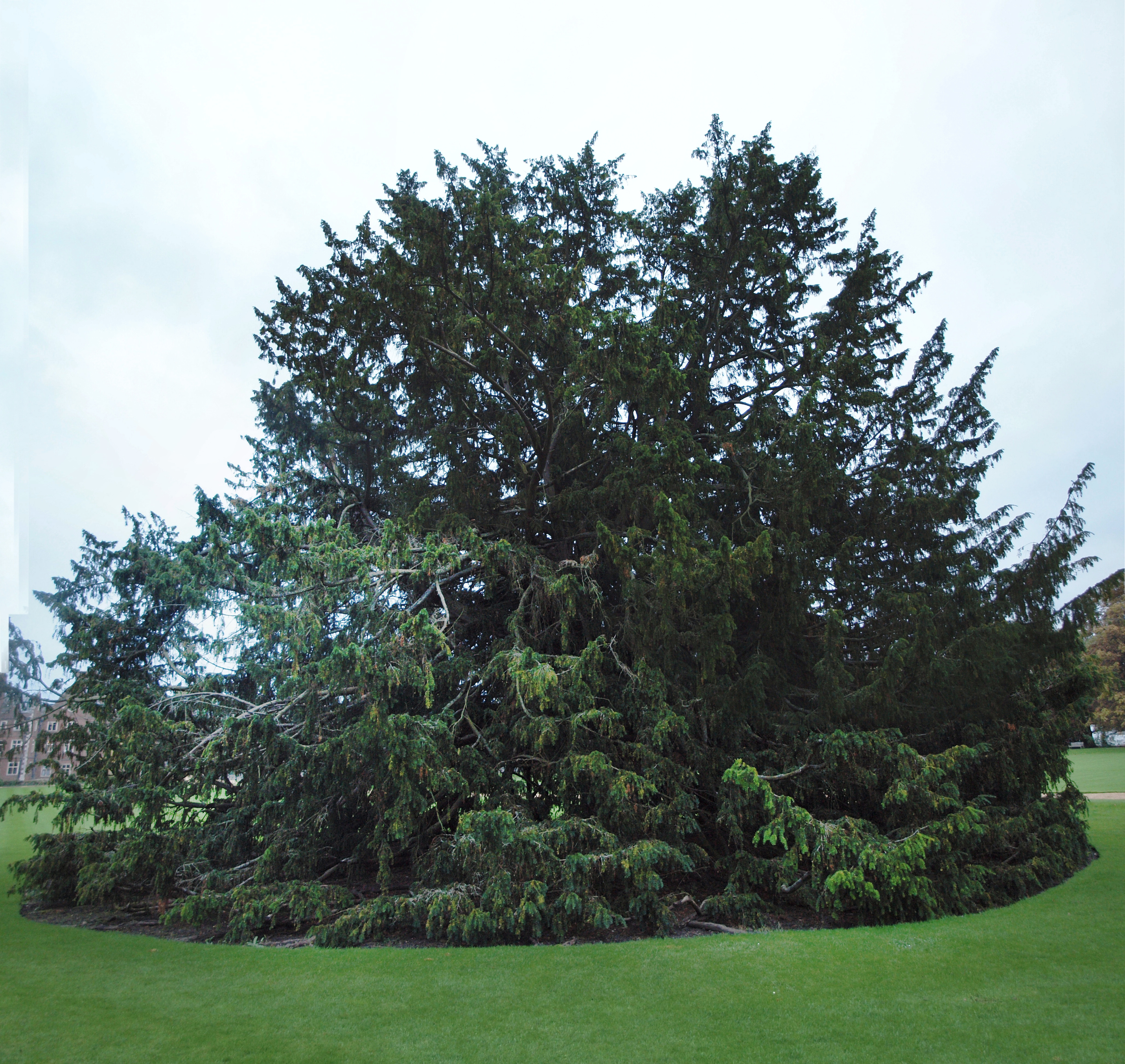 A tree slouching to the ground