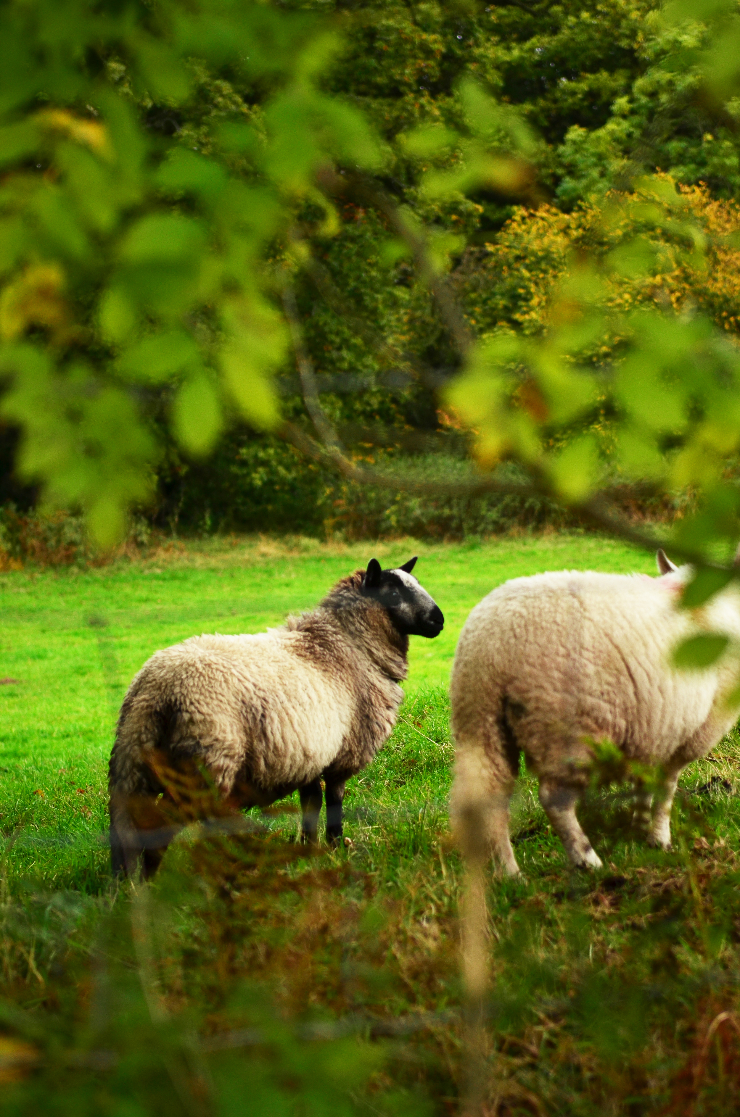 Dark Sheep