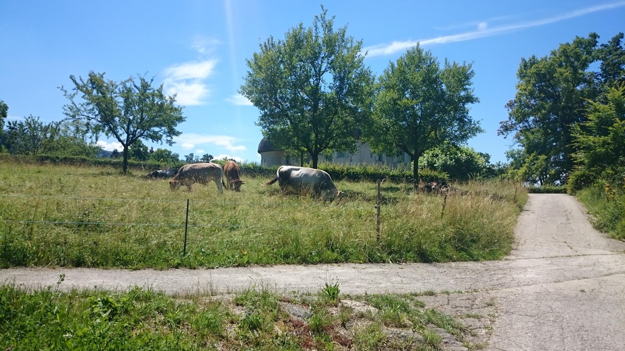 cattle right beside the sidewalk