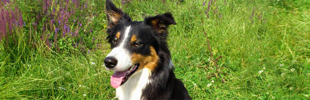 Smilla Border Collie