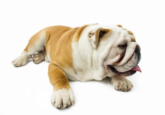 Englische Bulldogge English Bulldog