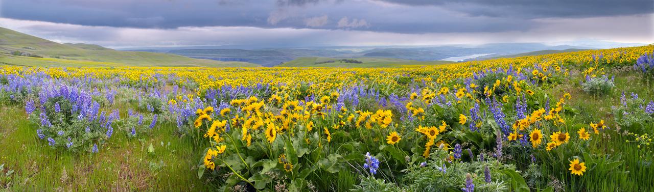 Balsam Lupine Panorama