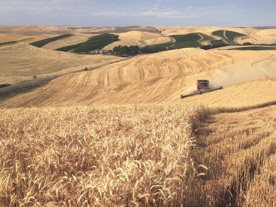 Wheat Harvest III