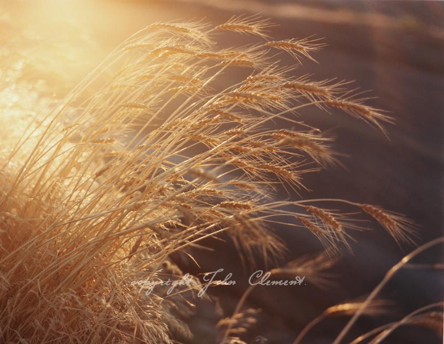 Golden Harvest II