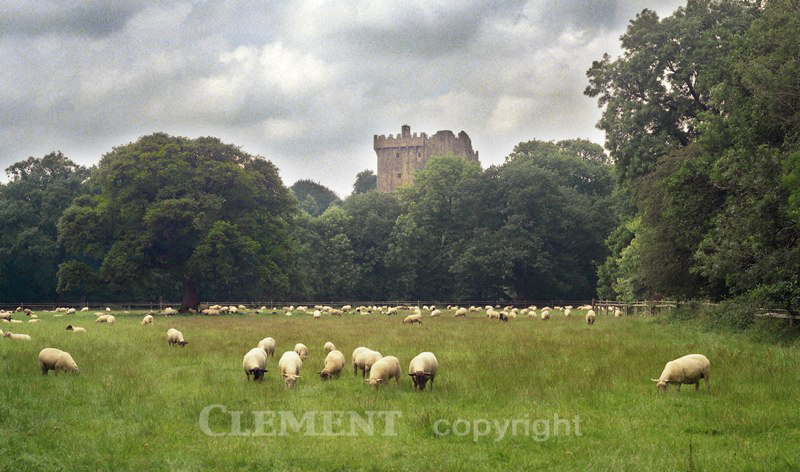 Lambs at Rest (Blarney Castle)