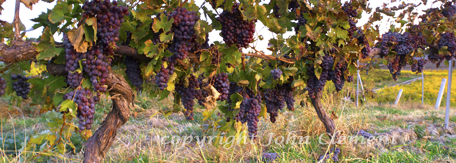 Claar Vines - Ready to Pick