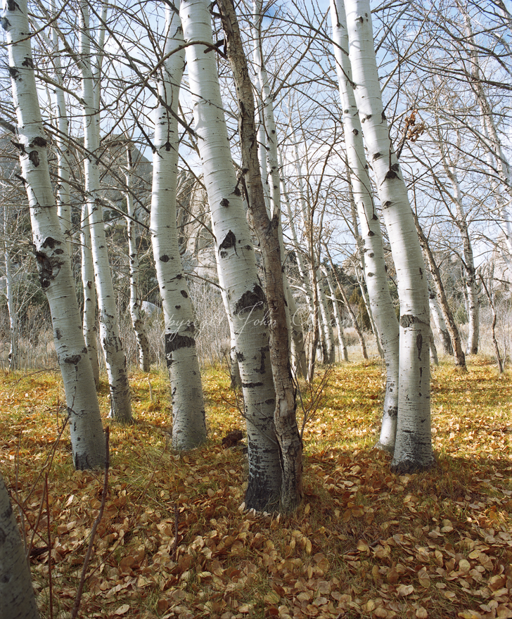 White Birches at the City