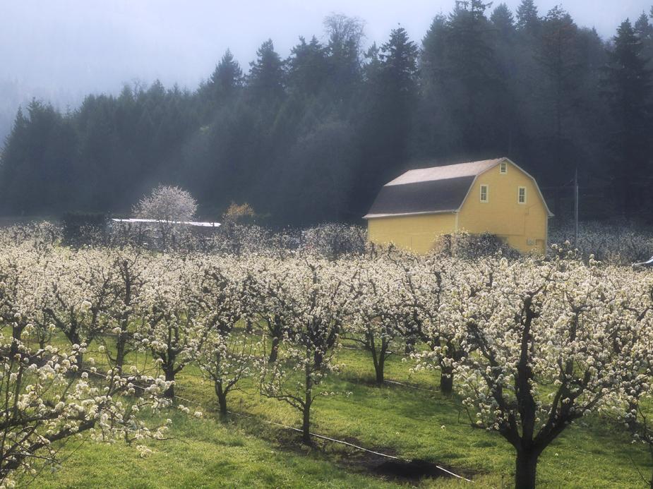 Old Yeller Spring
