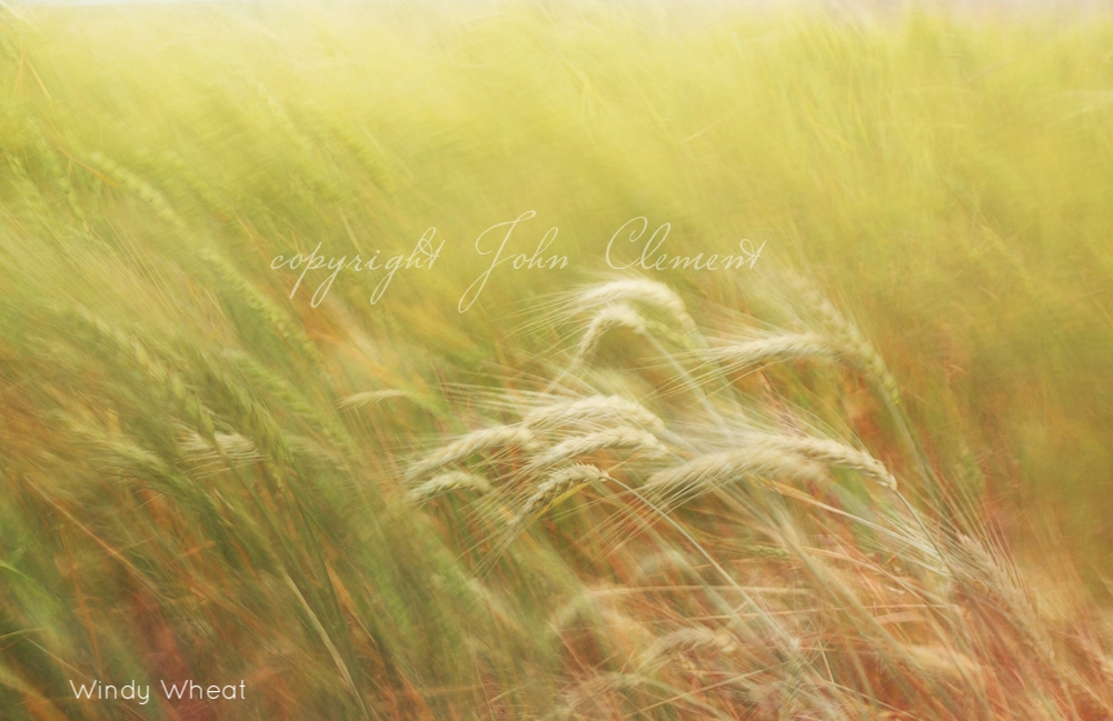 windy wheat2.jpg