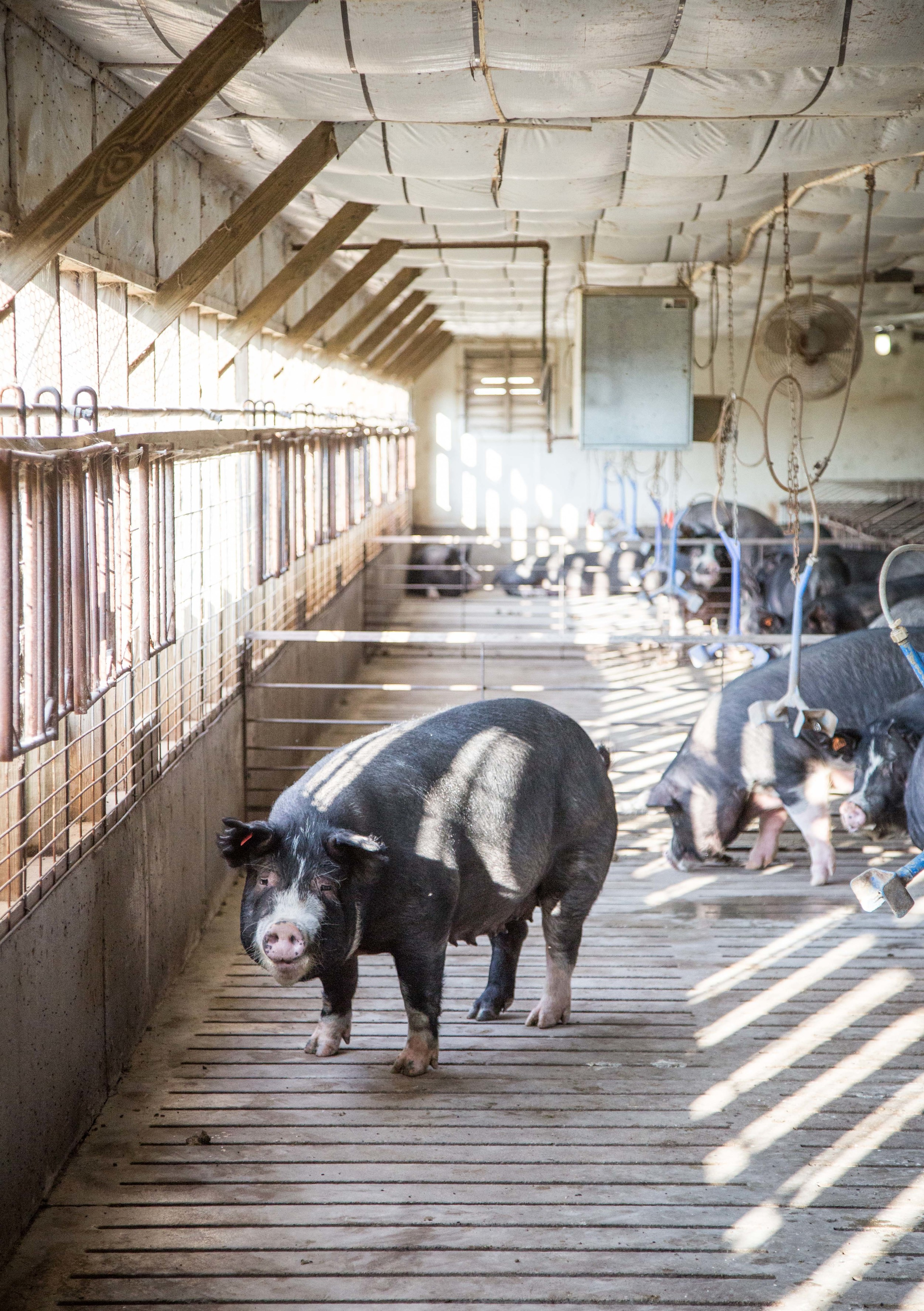 Sows (momma pigs) live in large spacious buildings called Gestation Barns before they give birth with other mommas. Pigs in these barns are not confined and are able to move about freely, while still being protected from the elements and in a safe place for farmers to handle them if need be.
