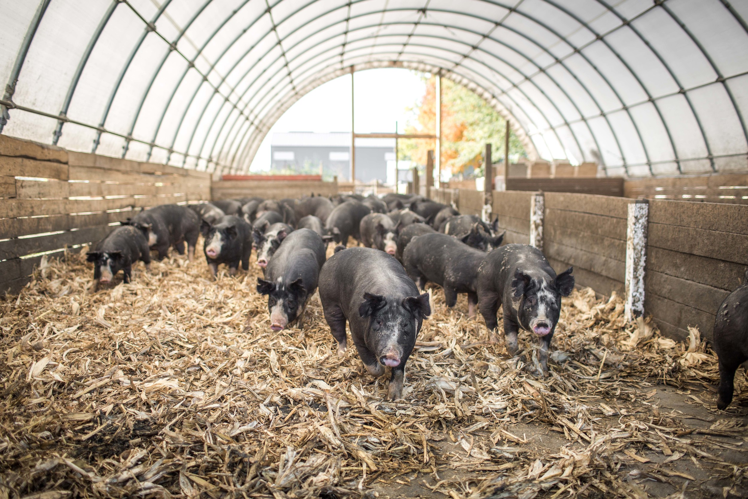 Many of our finishing pigs live in groups in open air hoop barns in West Liberty, Ohio. They are protected from the elements, yet get plenty of fresh air. We use corn stalks as bedding; it's one way we strive to reduce and reuse resources.