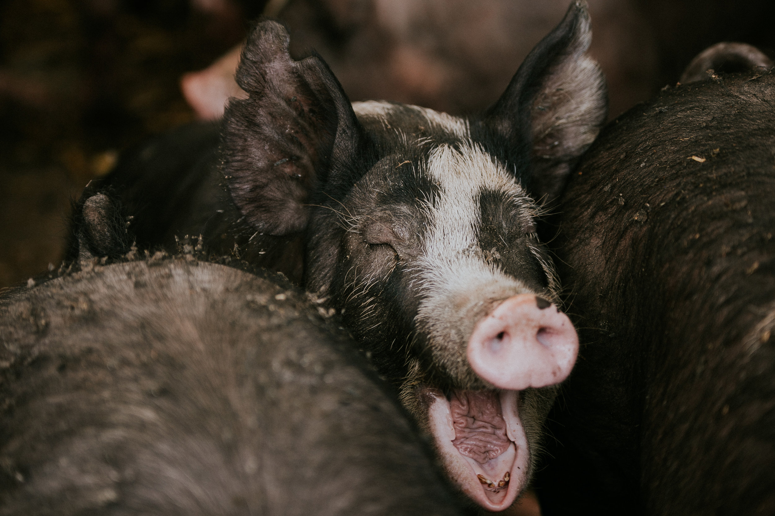 All antibiotics that could be used in pigs have specific withdrawal periods, during which the animal is not allowed to be harvested, as that antibiotic is still in the system. Because we keep careful records, we can ensure that animals are treated when need be, and that antibiotics never reach the food system.