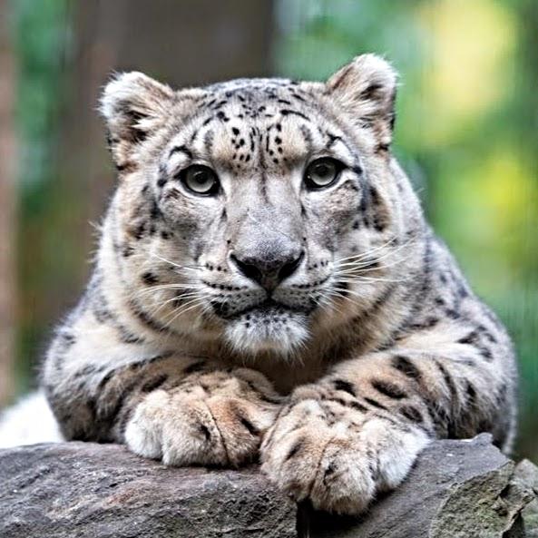 Allison Maher Stern, snow leopard