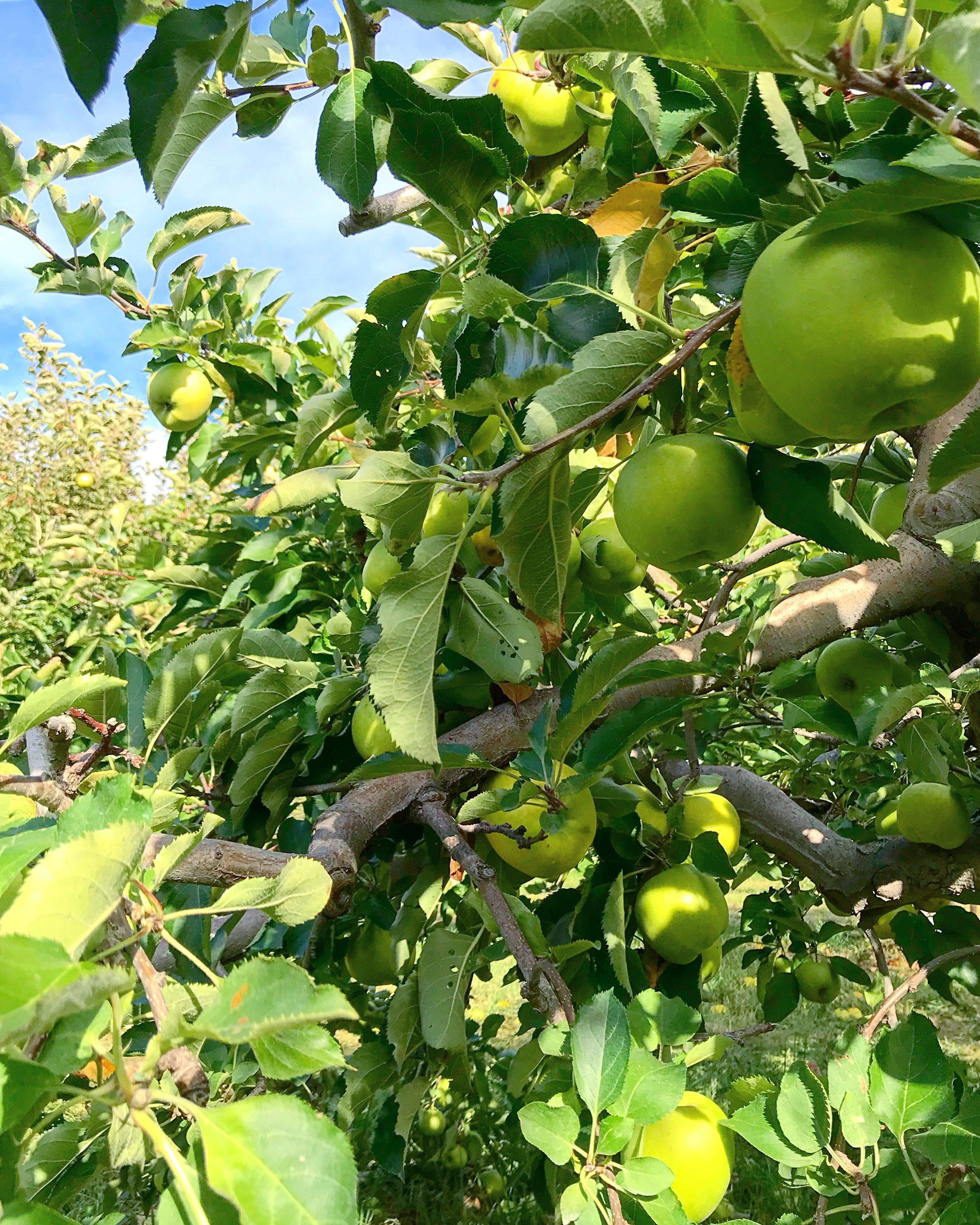 Green Apple Orchid, Fishkill Farms, NY