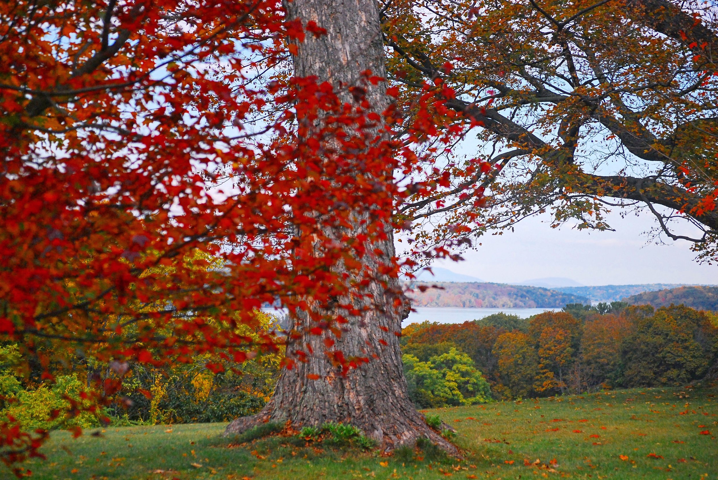 Red Tree in Hyde Park, NY overlooking the Hudson River - October, 25th 2017.