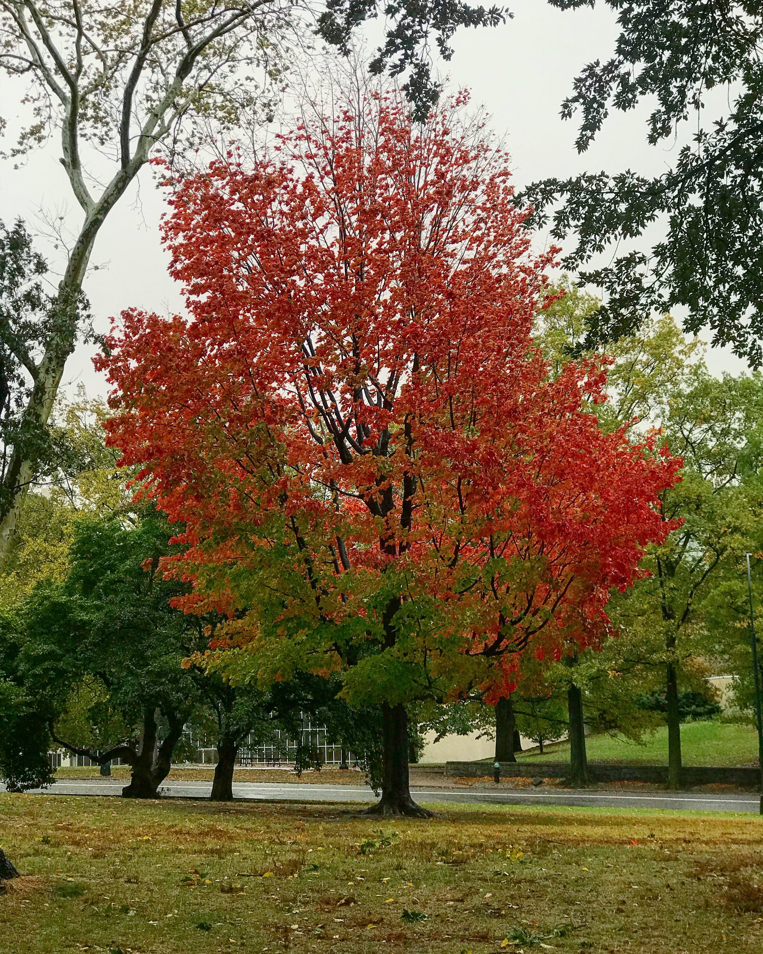 Central Park, Red Tree on the Great Lawn, 82n Street behind the Met - October 24th, 2017